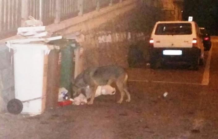 Ancona: lupo ferito in giro in piena notte