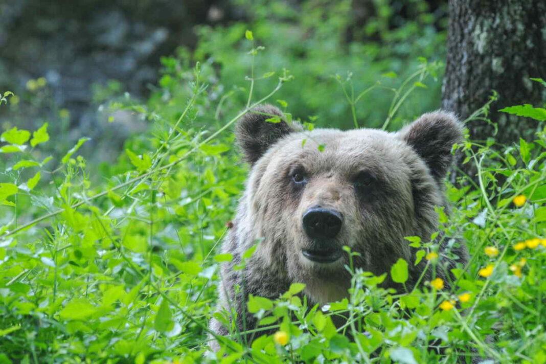 Metti un orso lungo la Salaria. L'incredibile avvistamento testimoniato da un Architetto di Arquata